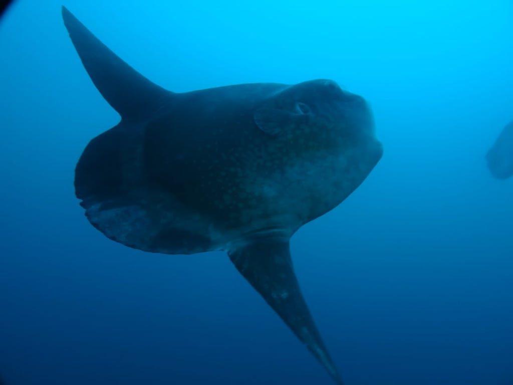 Mola Mola Nusa Penida centre de plongee Warnakali Epatrimony