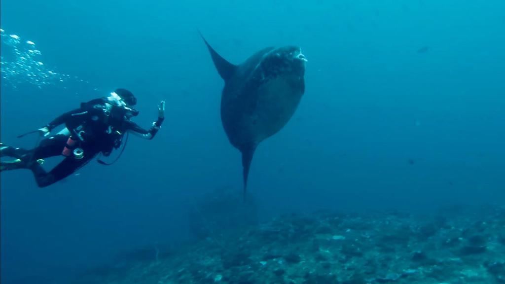 Mola Mola en plongée à Nusa Penida Bali